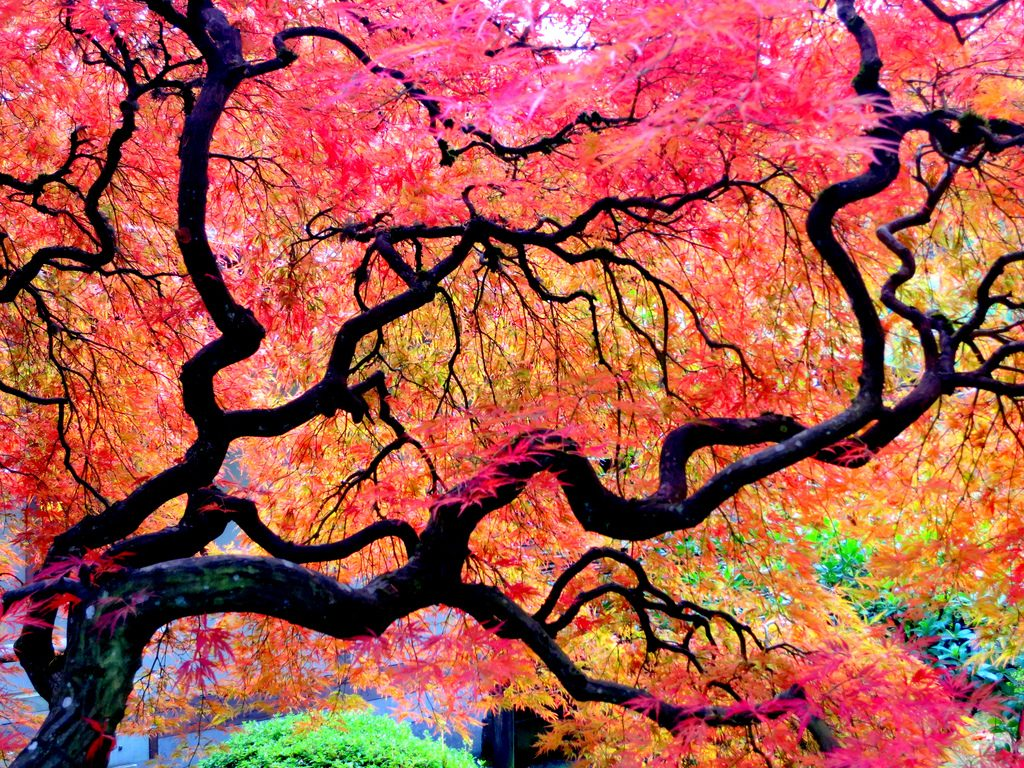 japanese-maple-stock